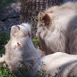 Pair of white lions — Stock Photo