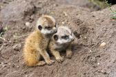 Meerkat babies — Stock Photo