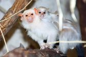Silvery marmoset with a baby — Stock Photo