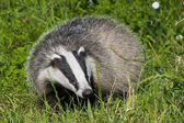 European badger — Stock Photo