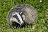 European badger — Stock Photo