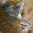 Lac Alaotrgentle lemur — Stock Photo #31577489