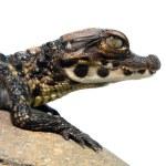 ������, ������: Dwarf crocodile baby