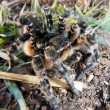 Wolf spider — Stock Photo
