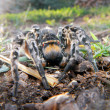 Wolf spider — Stock Photo #34657379