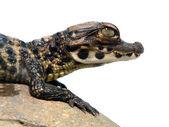 Dwarf crocodile baby — Stockfoto