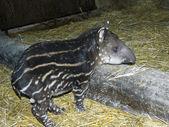 Tapir baby — Stockfoto