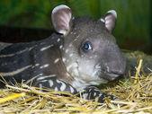ребенок тапир — Стоковое фото