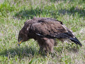 Aigle pomarin — Photo