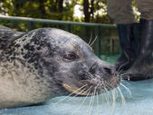 Harbour seal — Stockfoto