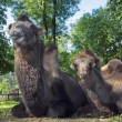Two-humped camels — Stock Photo