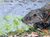 European otter — Foto de Stock