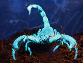 Scorpion under UV — Stock Photo