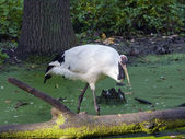 Red-crowned crane — Stock Photo