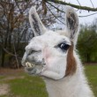 Stock Photo: Llama