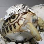 Leopard tortoise baby — Foto de Stock
