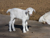 Goatling — Stock Photo