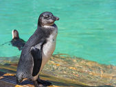 African penguin (Spheniscus demersus) chick — Stock Photo