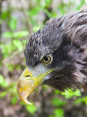 White-tailed eagle (Haliaeetus albicilla) — Stock Photo