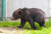 Brown bear (Ursus arctos) baby — Stock Photo