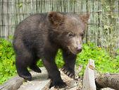 Brown bear (Ursus arctos) cub — Stock Photo