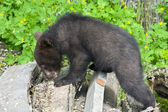Brown bear (Ursus arctos) cub — Stock Photo