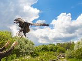 Releasing a white-tailed eagle (Haliaeetus albicilla) — Stock Photo