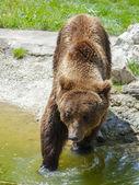 European brown bear (Ursus arctos arctos) — Stock Photo