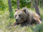 European brown bear (Ursus arctos arctos) — Stock Photo