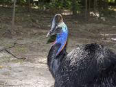 Southern cassowary (Casuarius casuarius)  — Stock Photo