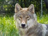 European gray wolf (Canis lupus lupus) — Stock Photo