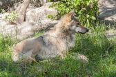 欧洲的灰太狼 (指名亚种) — 图库照片