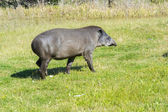 Lowland tapir (Tapirus terrestris) — Stock Photo