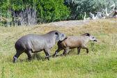 Nizinne tapira (tapirus terrestris) — Zdjęcie stockowe