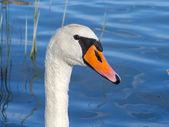 Mute swan (Cygnus olor) — Stock Photo