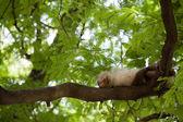 Dormire scimmia — Foto Stock