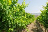 Organic vineyard — Stock Photo
