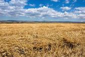 Campo de trigo — Fotografia Stock