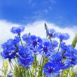 Blue cornflower in the meadow — Stock Photo