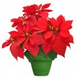 Beautiful poinsettia — Stock Photo #37462447