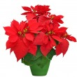 Beautiful poinsettia — Stock Photo #37462499