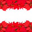 Stock Photo: Christmas frame from red poinsettias
