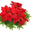 Christmas tree branch with red poinsettia — Stok fotoğraf
