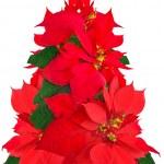 Christmas tree made of poinsettia flowers — Stock Photo