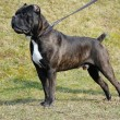 Stock Photo: Dog cane corso italian
