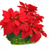 Green basket with red poinsettia — Stock Photo