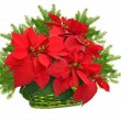 Green basket with red poinsettia and christmas tree branch — Stock fotografie
