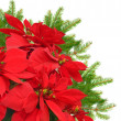 Red poinsettia and christmas tree branch — ストック写真