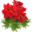 Red poinsettia in green basket and christmas tree branch — Stock fotografie #37467271