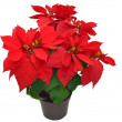 Red poinsettia — Stock Photo #37467385